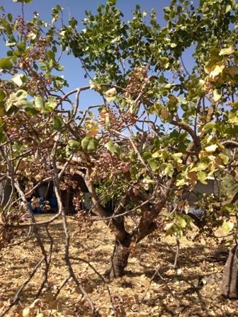 シチリア、ブロンテのピスタチオ農家見学