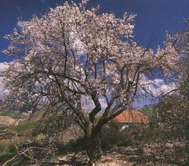 シチリア島のアーモンドの花